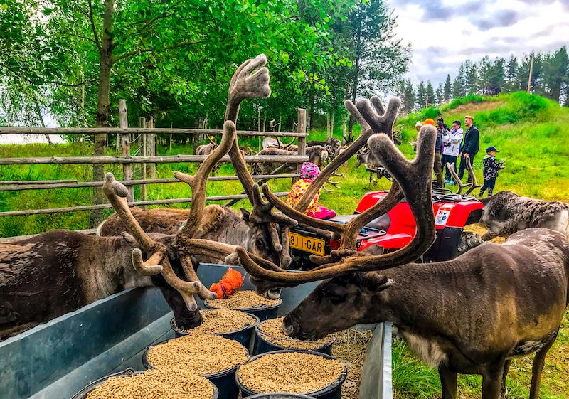 Reindeer farm experience in Rovaniemi in summer
